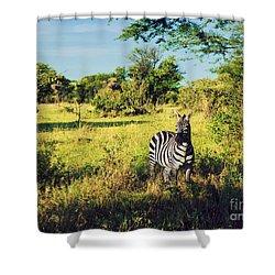 Zebra In Grass On African Savanna. Shower Curtain by Michal Bednarek