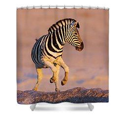 Zebras Jump From Waterhole Shower Curtain by Johan Swanepoel