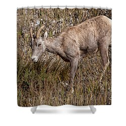 Bighorn Ewe Shower Curtain