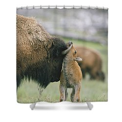 A Female Bison Bison Bison Stands Shower Curtain by Tom Murphy