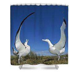 Antipodean Albatross Diomedea Shower Curtain by Tui De Roy