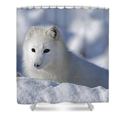 Arctic Fox Exploring Fresh Snow Alaska Shower Curtain by David Ponton