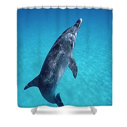 Atlantic Spotted Dolphin Portrait Shower Curtain by Flip Nicklin