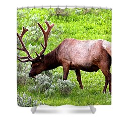 Bull Elk Shower Curtain by Carol Groenen