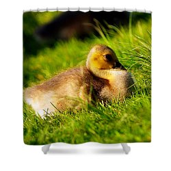 Gosling In Spring Shower Curtain by Paul Ge