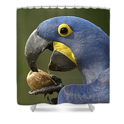 Hyacinth Macaw Anodorhynchus Shower Curtain by Pete Oxford