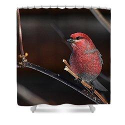 Male Pine Grosbeak Shower Curtain