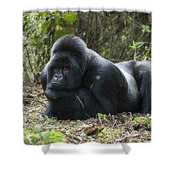 Mountain Gorilla Silverback Resting Shower Curtain by Suzi Eszterhas
