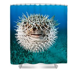 Spotted Porcupinefish Shower Curtain by Dave Fleetham