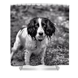 Springer Spaniel Shower Curtain by Marlo Horne