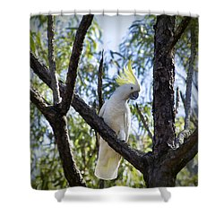 Sulphur Crested Cockatoo Shower Curtain by Douglas Barnard
