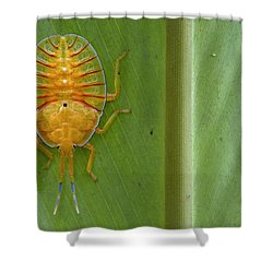 Tessaratomid Nymph Papua New Guinea Shower Curtain by Piotr Naskrecki