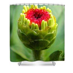 Zinnia Bud Shower Curtain by Sandi OReilly