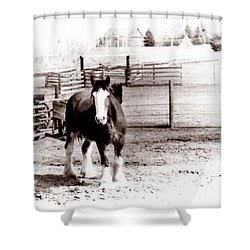 1900  Clydesdale Horse Shower Curtain by Marcin and Dawid Witukiewicz