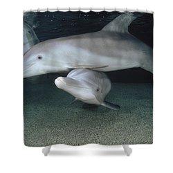 Bottlenose Dolphin Underwater Trio Shower Curtain by Flip Nicklin