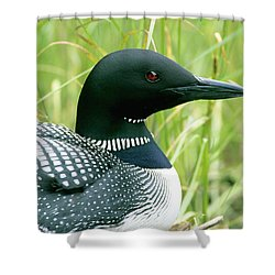 Common Loon, La Mauricie National Park Shower Curtain
