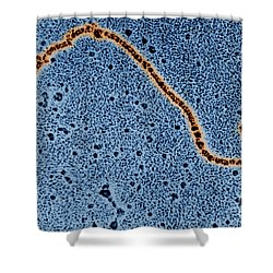Single Strand Of Dna Shower Curtain by Science Source