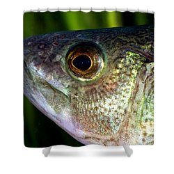 Yellow Perch Perca Flavescens Shower Curtain by Ted Kinsman