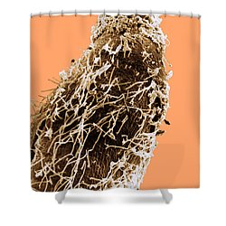 Bacteria On Sorghum Root Tip Shower Curtain by Science Source