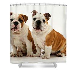 Bulldog Pups Shower Curtain by Jane Burton