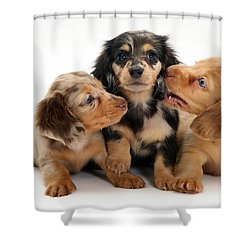 Dachshund Pups Shower Curtain by Jane Burton