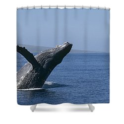 Humpback Whale Breaching Maui Hawaii Shower Curtain by Flip Nicklin