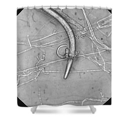 Nematode Snared By Predatory Fungus Lm Shower Curtain by Photo Researchers, Inc.