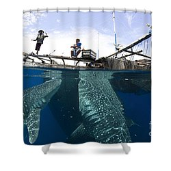 Whale Shark Feeding Under Fishing Shower Curtain by Steve Jones