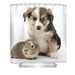 Border Collie Pup And Guinea Pig Shower Curtain by Mark Taylor