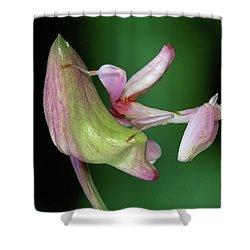 Orchid Mantis Hymenopus Coronatus Shower Curtain by Thomas Marent