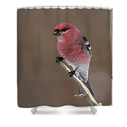 Pine Grosbeak Shower Curtain