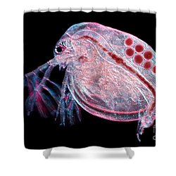 Water Flea Daphnia Magna Shower Curtain by Ted Kinsman