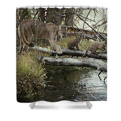 A Mountain Lion, Felis Concolor Shower Curtain by Jim And Jamie Dutcher