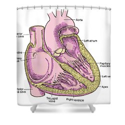 Illustration Of Heart Anatomy Shower Curtain by Science Source
