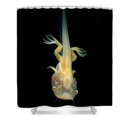 African Clawed Frog Tadpole Shower Curtain by Dante Fenolio