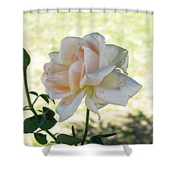 A Beautiful White And Light Pink Rose Along With A Bud Shower Curtain by Ashish Agarwal