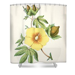A Cotton Plant Shower Curtain by American School