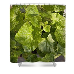 A Green Leafy Vegetable Plant After Watering In Bright Sunrise Shower Curtain by Ashish Agarwal
