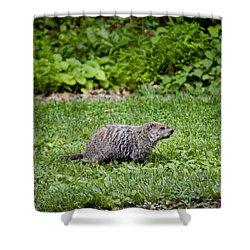 A Groundhog Marmota Monax Enjoys A Meal Shower Curtain