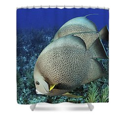 A Pair Of Gray Angelfish On A Caribbean Shower Curtain by Karen Doody
