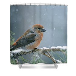 A Red Crossbill Loxia Curvirostra Shower Curtain