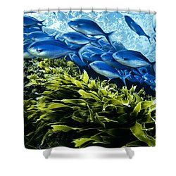 A School Of Blue Maomao Swim Shower Curtain by Brian J. Skerry