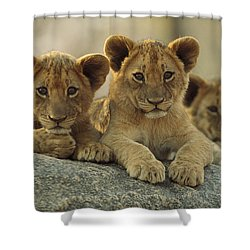 African Lion Three Cubs Resting Shower Curtain by Tim Fitzharris