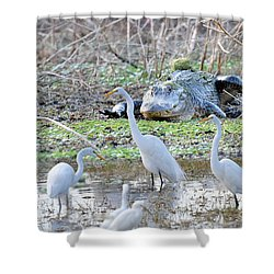 Shower Curtain featuring the photograph Alligator Looking For Food by Dan Friend