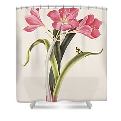 Amaryllis Purpurea Shower Curtain by Robert Havell
