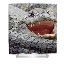 American Alligator Alligator Shower Curtain by Tim Fitzharris
