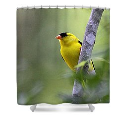 American Goldfinch - Peaceful Shower Curtain