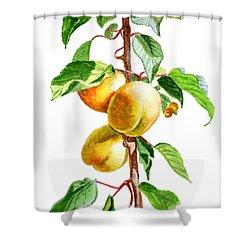 Apricots Shower Curtain by Irina Sztukowski