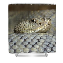 Aruba Rattlesnake Crotalus Unicolor Shower Curtain by Gerry Ellis