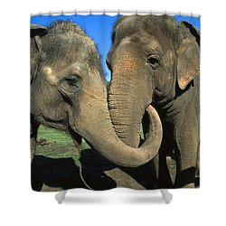 Asian Elephant Elephas Maximus Pair Shower Curtain by Zssd